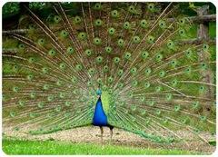 La queue du paon représente par excellence le critère de sélection sexuelle